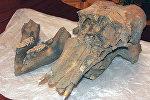 Архивное фото останков детеныша мамонта