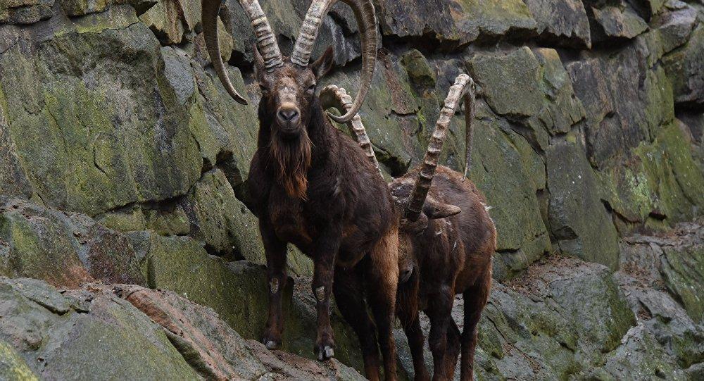 Архивное фото козерогов в зоопарке