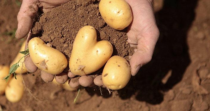 Архивное фото фермера, который держит на ладони картошку в форме сердца