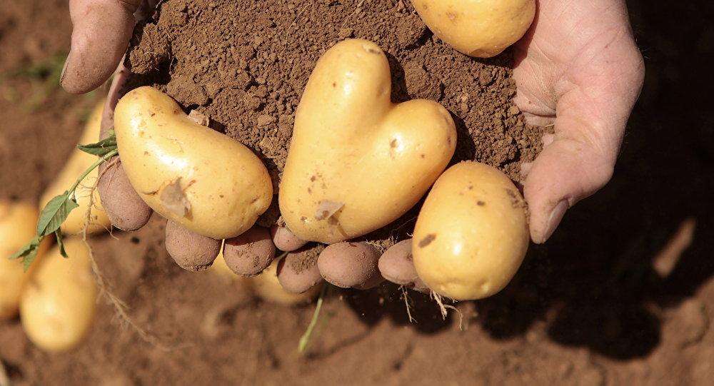 Жүрөк формасында картошканы алаканында кармаган фермер
