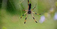 Пальмовый паук. Архивное фото