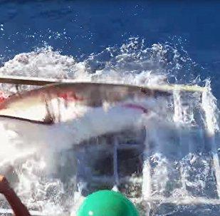 Белая акула проломила клетку, где находился дайвер