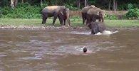 Как слоненок спас тонущего человека в Таиланде