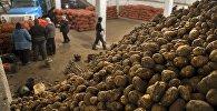 Картошканы сактоо склады. Архив