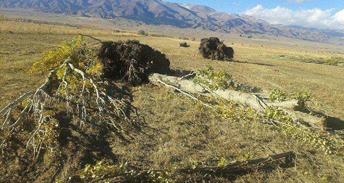 Айыл тургундарынын айтымында бул аймак тоңдурмага сугарылган. Шамалдан улам тамырлары бошогон бактар кулаган