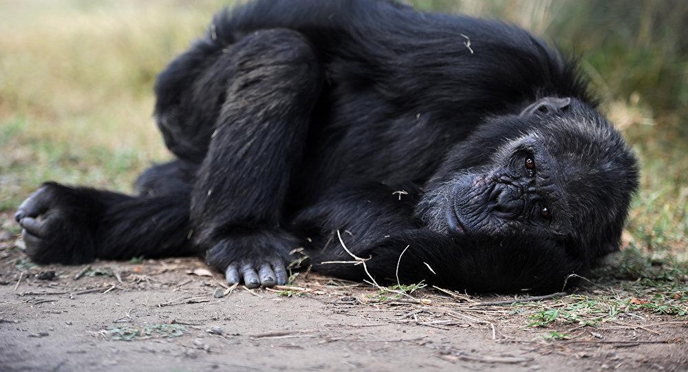 Шимпанзе в зоопарке. Архивное фото