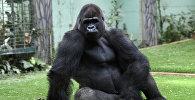 Горилла в зоопарке во Франции. Архивное фото