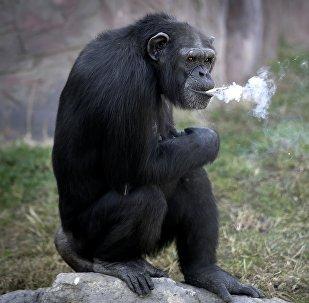 Шимпанзе по кличке Азалия который курит сигареты в зоопарке в Северной Корее