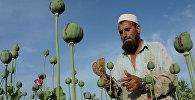 Афганистанда опиум чыгаруу. Архивдик сүрөт