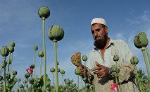 Афганский крестьянин разрезает опийный мак, чтобы получить сок. Архивное фото