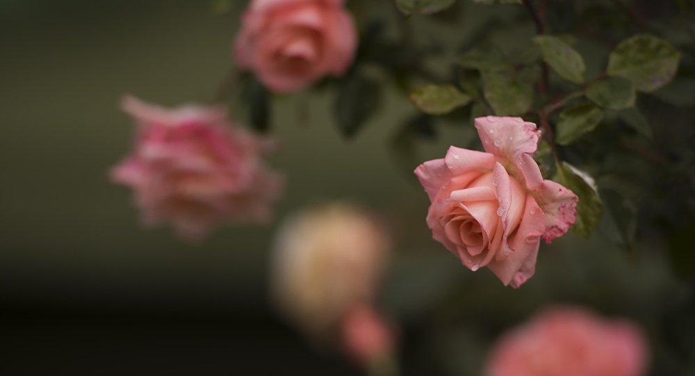 Роза гүлү жамгырда. Архивдик сүрөт
