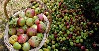 Корзина с яблоками. Архивное фото