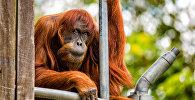 Орангутанг в зоопарке. Архивное фото