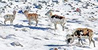 Архивное фото архаров (горный баран) парнокопытных млекопитающих семейства полорогих, обитающее в горных районах Средней и Центральной Азии