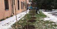 Кыргызстандын Россиядагы элчилиги өзүнүн аймагында 25 кайың отургузду