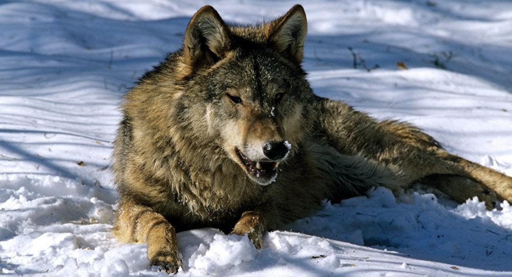Волк притворился мертвым иотомстил охотнику вКазахстане