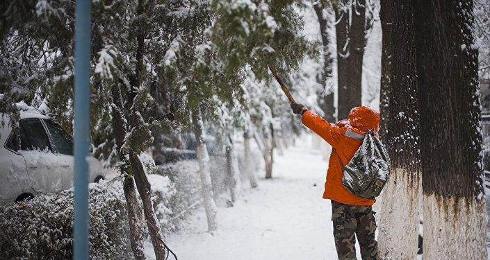 Мужчина вытряхивает снег с деревьев в Бишкеке. Архивное фото