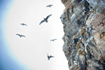 Стая птиц на побережье Арктики. Архивное фото