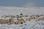 Чабан пасет овец. Архивное фото
