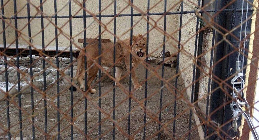 Лев в зоопарке Каракола. Архивное фото