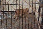 Каракол зоопаркындагы арстан. Архив