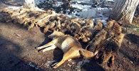 Шкуры шакалов, застреленные охотниками села Мамажан Кара-Суйского района Ошской области