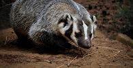 Барсук — вид млекопитающих из рода барсуков