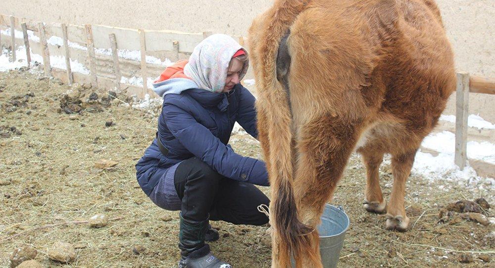 Латыш келин Анастасия Нарын облусунун Ат-Башы районунун Кара-Булуң айылындагы кайын журтунда уй саап жаткан учурда