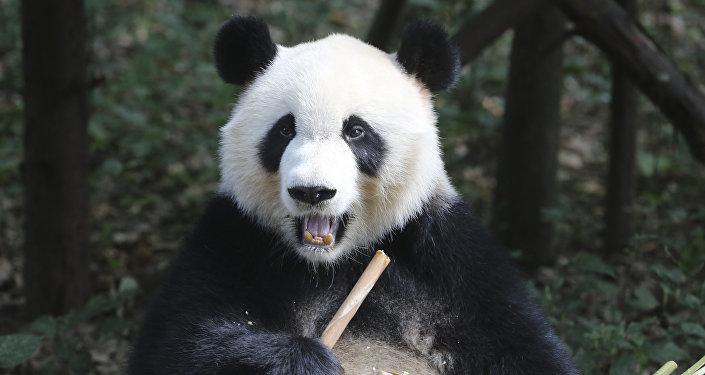 Панда. Архивдик сүрөт