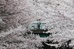 Токиодо сакуранын гүлдөшү. Архивдик сүрөт