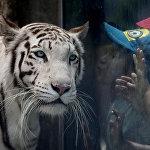 Лима шаарындагы зоопаркта өспүрүм бенгал жолборсун өпкүсү келип жатат