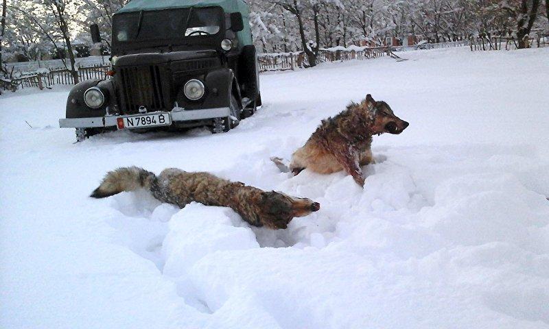 Волки, добытые в Ак-Талинском районе охотником Нурдином Бекмаматовым
