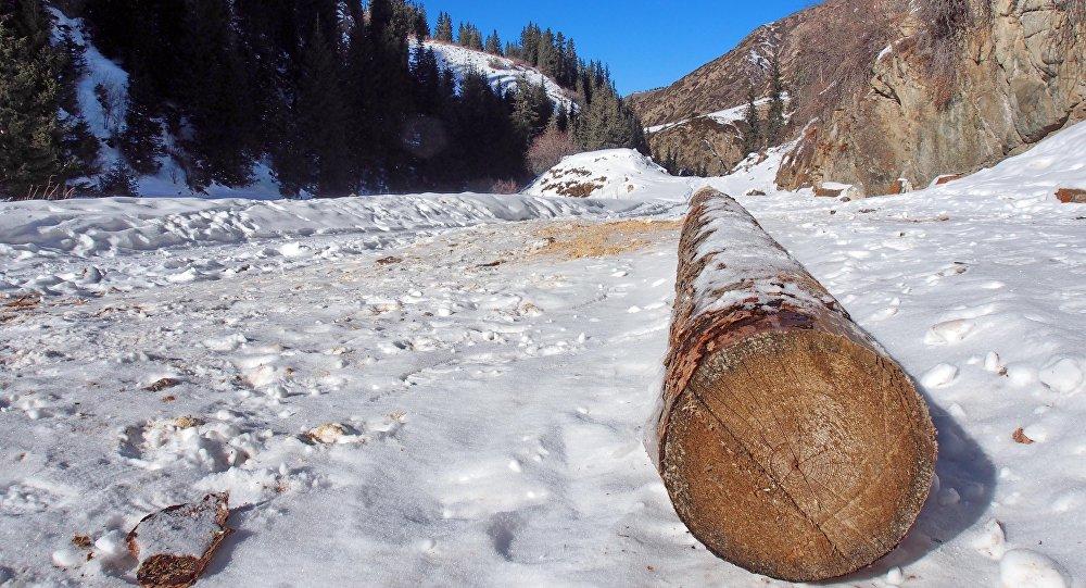 Ствол дерева на южном берегу Иссык-Куля после незаконной вырубки. Архивное фото
