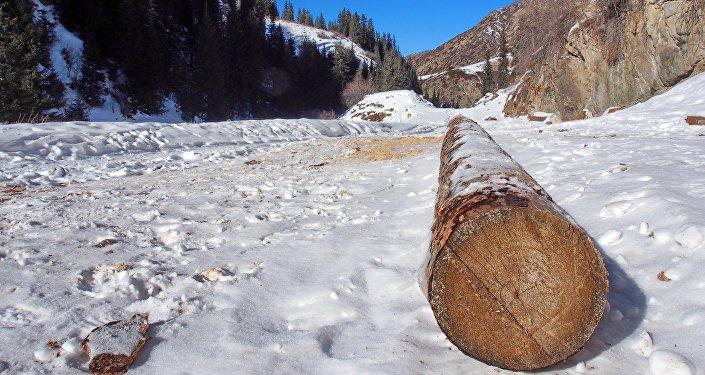 В каждом из ущелий они обнаружили факты незаконной вырубки лесов. Путешественники сняли на видео голые пни, недавно срубленные стволы и следы того, как браконьеры волокли деревья по снегу.