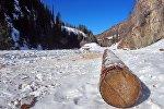 Ствол дерева после незаконной вырубки. Архивное фото
