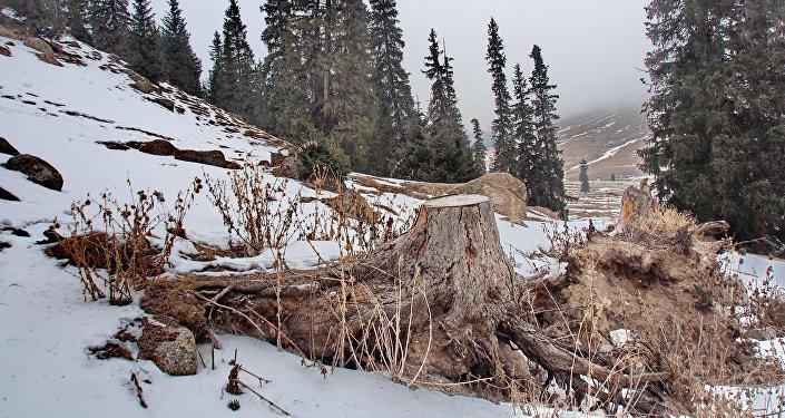 Лесной участок на южном берегу Иссык-Куля после незаконной вырубки