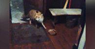 Дикая лиса не боится людей и заходит в дом посмотреть ТВ — кадры из Казармана