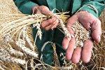 Урожай зерновых. Архивное фото