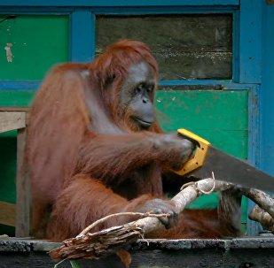 Популярное видео про орангутанга с ножовкой оказалось фейком