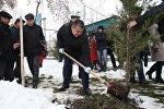 Ош шаарынын мэри Айтмамат Кадырбаев көчөт отургузууда
