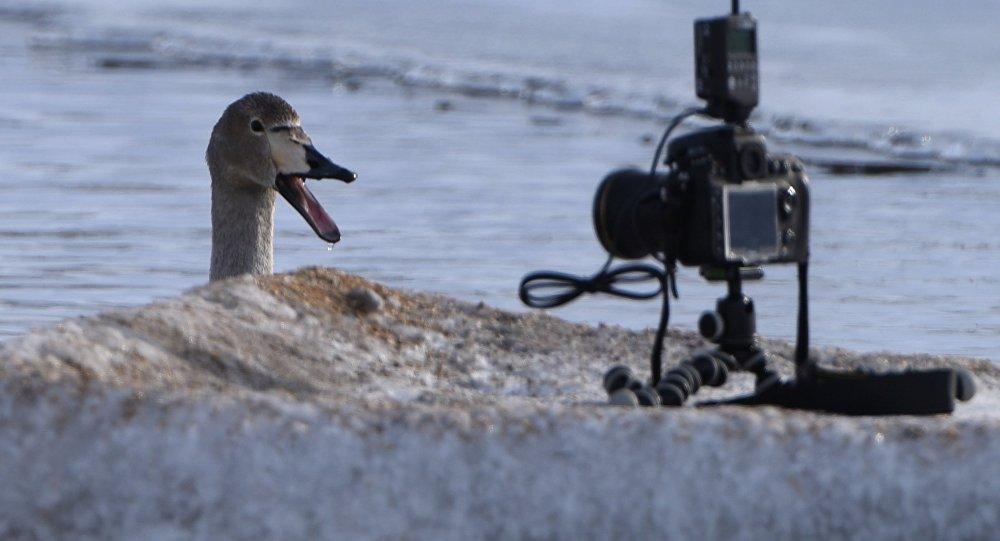 Лебедь-кликун у фотоаппарата. Архивное фото
