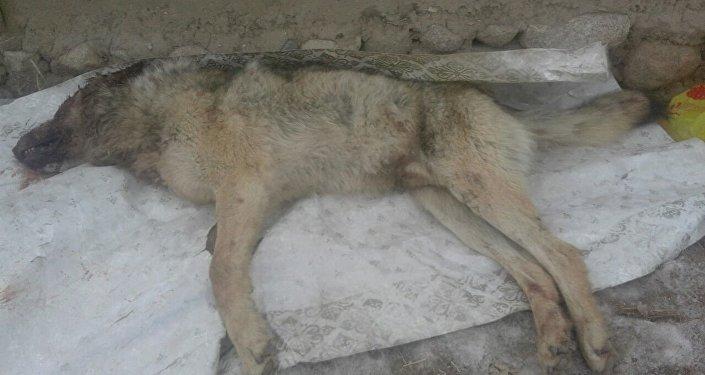 Труп волка, который напал на Кадыржана Шаршенбек уулу