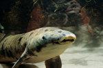 Рыба-рогозуб по кличке Granddad (Дедушка), названная старейшей в мире рыбой, обитающей в общественном аквариуме Чикаго