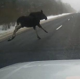 Выскочивший на трассу лось чуть не стал причиной ДТП в Беларуси