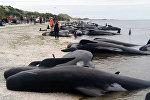 Более 400 черных дельфинов-гринд (шароголовых) выбросились на берег Южного острова Новой Зеландии