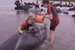 Волонтеры поливали водой выбросившихся на берег Новой Зеландии дельфинов