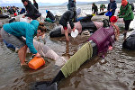 Жаңы Зеландиянын түштүк аралынын жээгине чыгып калган дельфиндер