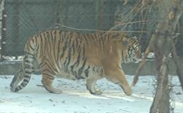 Сытые и довольные: располневшие тигры гуляют по парку в Китае