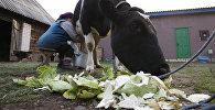 Жительница деревни доит корову. Архивное фото