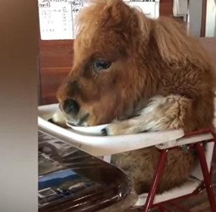 Видео с пони на детском стульчике разделило Интернет на два лагеря